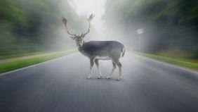 Ein Hirsch auf einer gerade verlaufenen Straße durch den Wald.